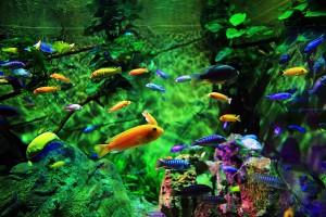 Cá kiểng Tèo - Cá cảnh Cần Thơ
