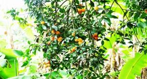 Trái Thanh Trà đặc sản Vĩnh Long » Ẩm thực miền Tây