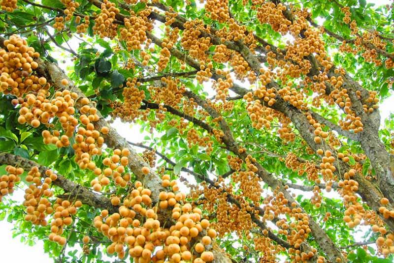 trái-cây-dâu-hạ-châu