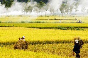 Diễn đàn lúa gạo Việt Nam | Bán lúa gạo trên mạng?